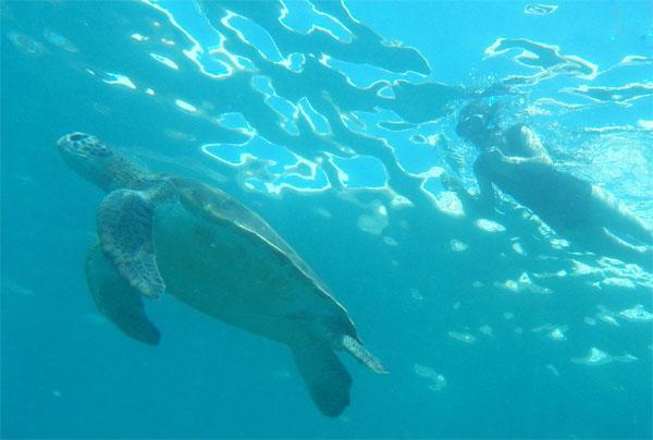 Snorkelen op Tenerife. soepschildpad.