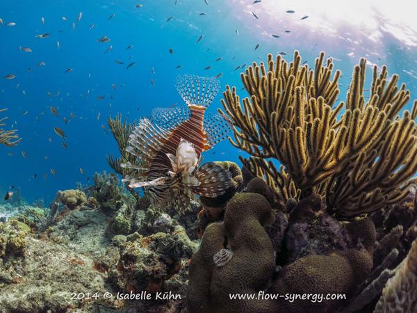 Een koraalduivel op Bonaire