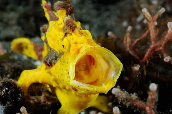 Een Hengelaarsvis - Foto Ron Offermans Onderwaterfotografie
