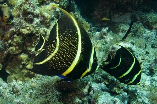Franse Keizervissen kun je tijdens snorkelen in de Dominicaanse Republiek tegenkomen