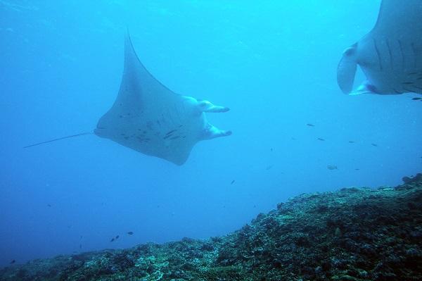 Manta's kijken tijdens duiken op Bali