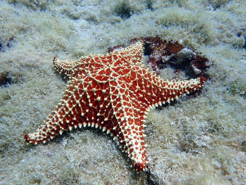 Red cushion sea star - Oreaster reticulatus