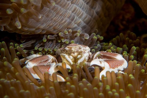 duiken op de Gili eilanden - Koraalkrab bij Oceans5 huisrif
