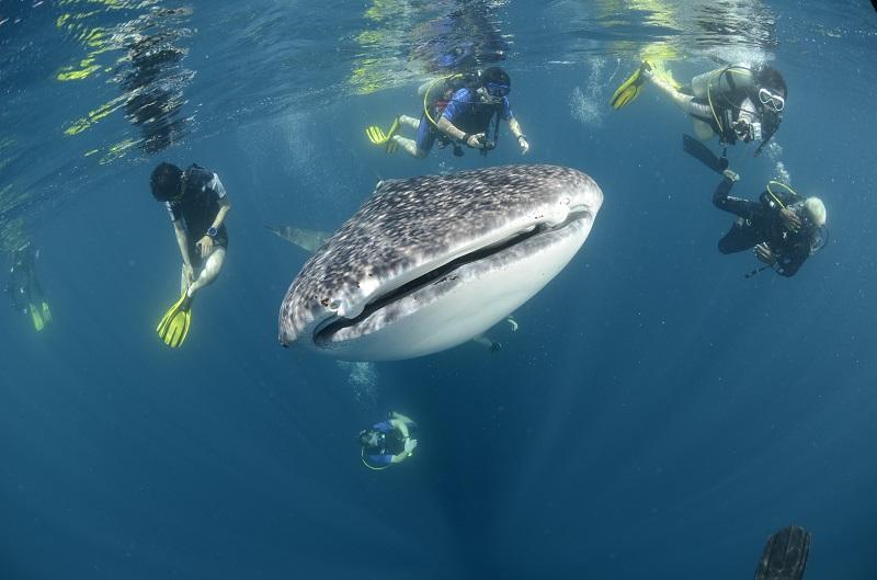 Duiken op de Seychellen met de walvishaai