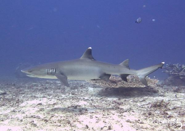witpunt haai bij Sharkpoint Trawangan
