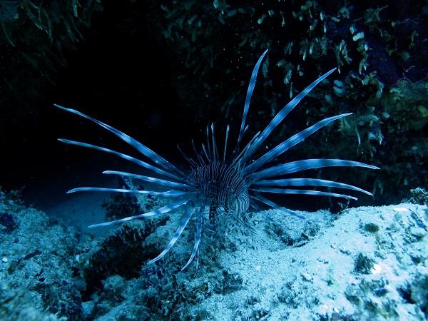 Koraalduivel kun je ook spotten als je gaat duiken in Bocas del Toro